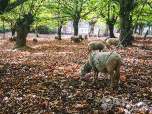 Ganado ovino entre castaños
