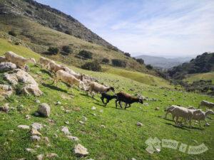 El ganado nos marca el camino a seguir