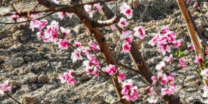 Floración de los frutales
