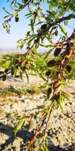 Cultivos de Almendros y Viñedos